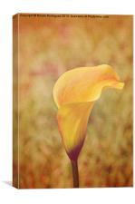 Fall Calla Lily 2, Canvas Print