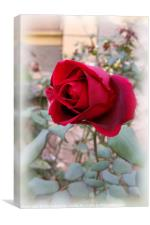 last red rose, Canvas Print