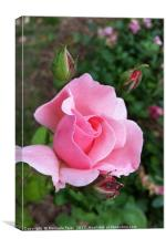 pink rose blooming, Canvas Print