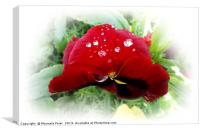 Bright red pansy, Canvas Print