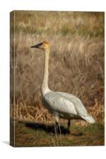 The Trumpeter Swan, Canvas Print