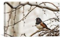 Spotted Towhee, Canvas Print