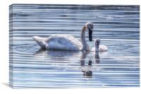 Cygnet with Mother, Canvas Print