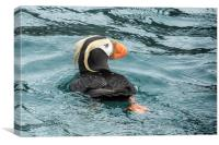 Tufted Puffin, Canvas Print