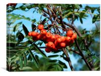 Berries on Mountain Ash Tree, Canvas Print