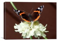 Red Admiral on Scabiosa Flower, Canvas Print