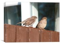House Sparrows Sitting on the Fence, Canvas Print