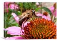 Honey Bee on Echinacea Flower, Canvas Print