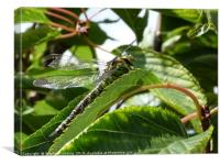 Dragonfly in Cherry Tree, Canvas Print