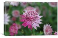 Astrantia - TwoTone, Canvas Print