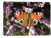 Peacock Butterfly on Heather, Canvas Print