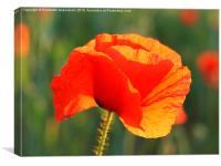 Just One Red Poppy, Canvas Print