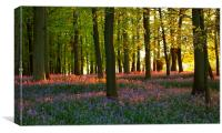 Bluebells at Sunset, Hertfordshire., Canvas Print