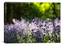 Bluebells and green beech leaves, Hertfordshire., Canvas Print