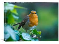 Robin in the Ivy, Canvas Print