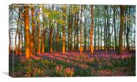 Bluebell Woodland Tinged with Sunset Light, Canvas Print