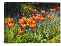 Featured Ballerina Tulips at Chenies, Canvas Print