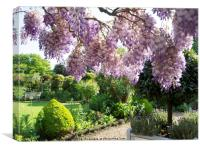 Wisteria Sinensis 'Amethyst' at chenies, Canvas Print
