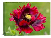 Red Oriental Poppy, Canvas Print