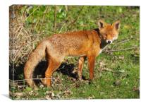 Mr Fox in afternoon Sun, Canvas Print