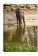 Baby Elephant Reflection, Canvas Print