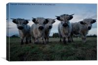 White High Park Cow Herd, Canvas Print