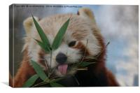 Cheeky Red Panda, Canvas Print