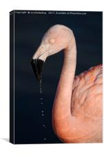 Flamingo After Emerging From The Water, Canvas Print