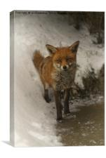 Wild Red Fox In The Winter, Canvas Print
