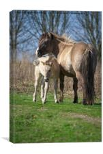 Konik Horse And Her Foal, Canvas Print
