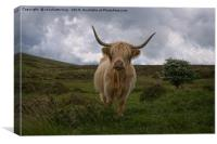Highland Cow Roaming Free, Canvas Print