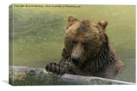 Grizzly Bear In The Lake, Canvas Print