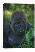 Silverback Got His Eye One Some More Leaves, Canvas Print