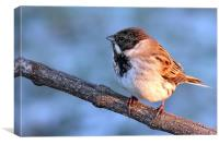 Reed Bunting on branch, Canvas Print