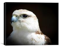 Falcon, Bird of Prey, Canvas Print