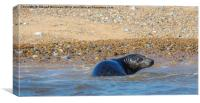 Seal at Blakeney Point, Canvas Print