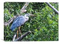 Heron in a tree, Canvas Print