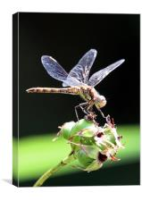 Dragon Fly Sympetrum striolatum - Common Darter, Canvas Print