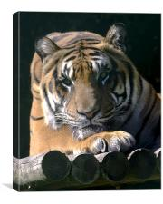 Eyes of The Tiger, Canvas Print