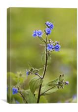 Wild Flower called Green Alkanet, Canvas Print