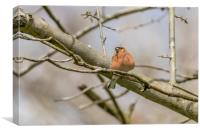 The chaffinch , Canvas Print