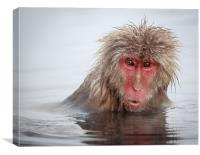 Curley (Japanese Macaque), Canvas Print