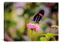 Thirsty Tropical Butterfly , Canvas Print