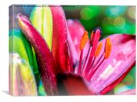 Blooming Lily, Canvas Print