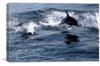 Peales Dolphins, Drakes Passage, Canvas Print