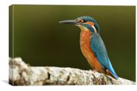 Male Kingfisher, Canvas Print