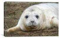 Very young grey seal pup, Canvas Print