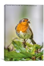 Robin with food, Canvas Print