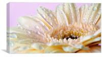 Cream gerbera with water droplets, Canvas Print