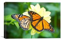 monarch butterflies, Canvas Print